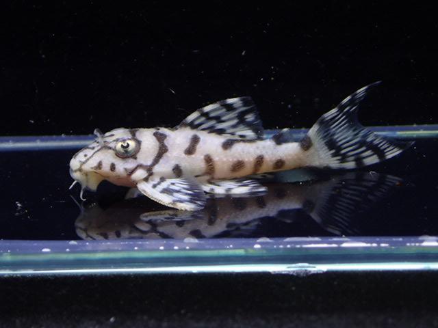 fukurotoji 20170318 (1)